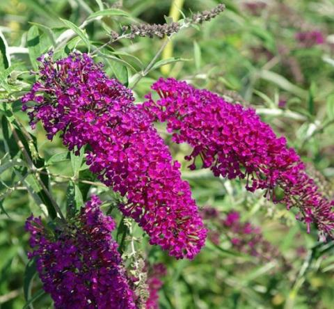 Buddleja dav. 'Nanho Purple'