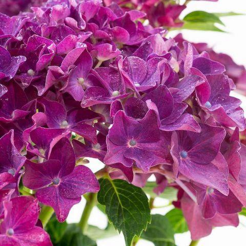 Hydrangea 'Forever and Ever' ® PURPER