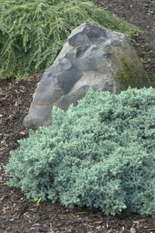 Juniperus squam. 'Blue Star'