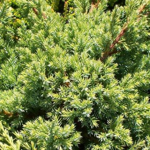 Juniperus squam. 'Holger'