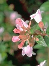 Abelia chin 'Edward Goucher'