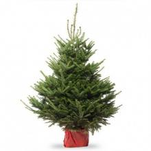 Abies Fraserii KERSTBOOM