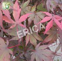 Acer palm. 'Bloodgood'