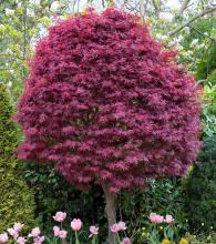 Acer palm. 'Skeeters Broom'