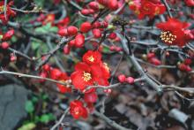 Chaenomeles sup. 'Crimson and Gold'