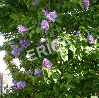 Syringa vulg. 'Katherine Havemeyer'